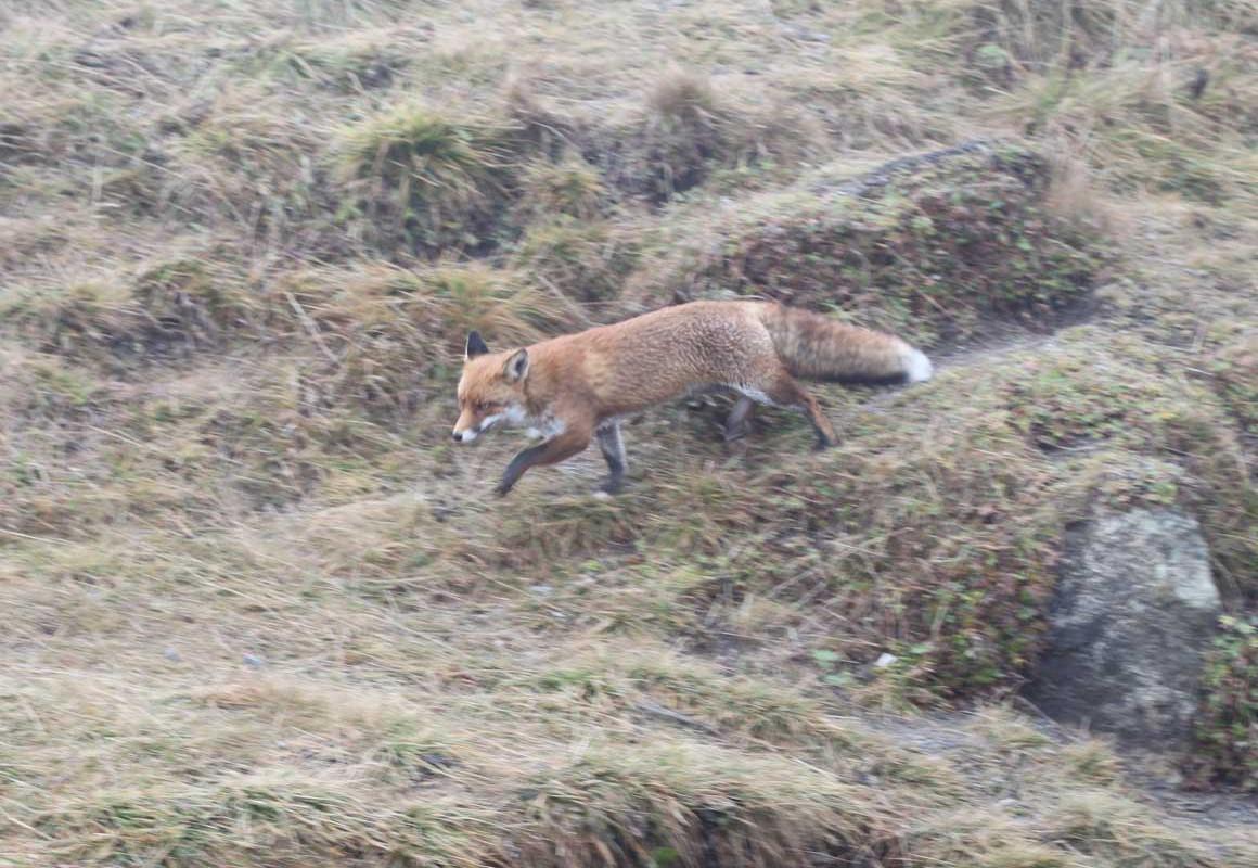 Fuchs im Harz